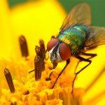 Fliege auf gelber Blüte