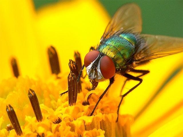 Fliege auf gelber Blüte - Makro
