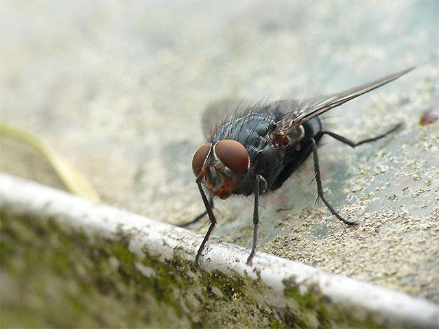 Fliege - Makro