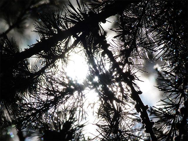 Sonne scheint durch Kiefernzweige