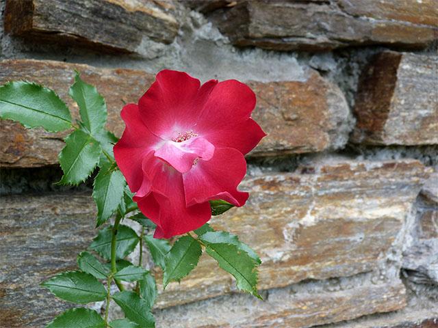 Mauerblümchen im Britzer Garten