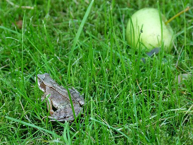Frosch und Apfel im Gras