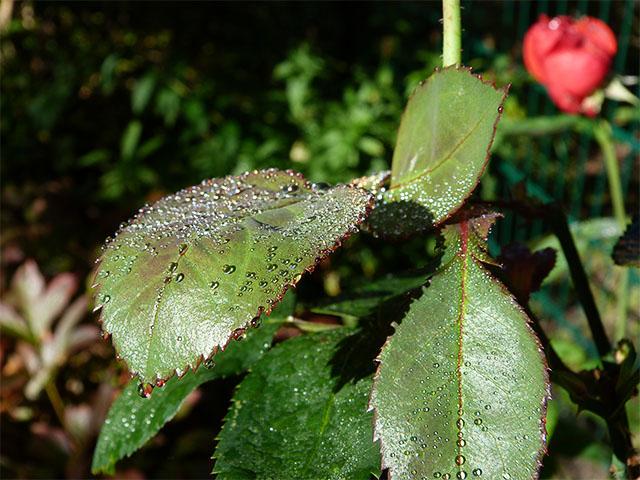 Rosenblätter benetzt vom Morgentau
