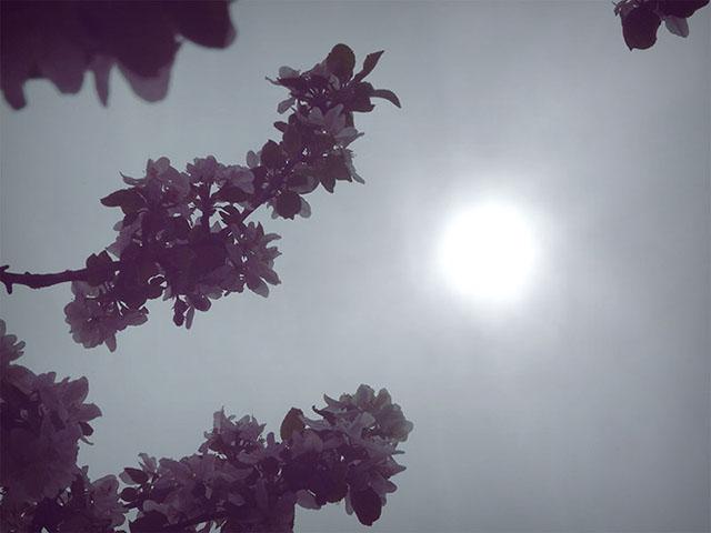 Apfelblüten im Garten mit Sonne