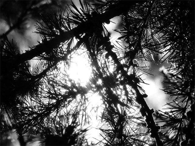pine tree black and white
