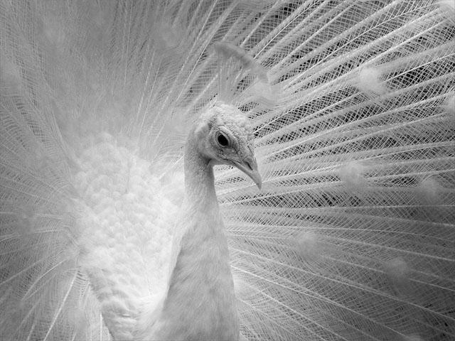 Pfau in schwarz-weiß