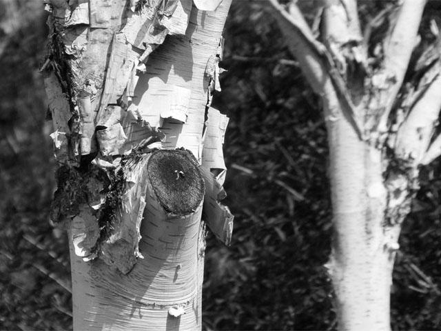 Abschälende Birkenrinde - schwarz/weiß