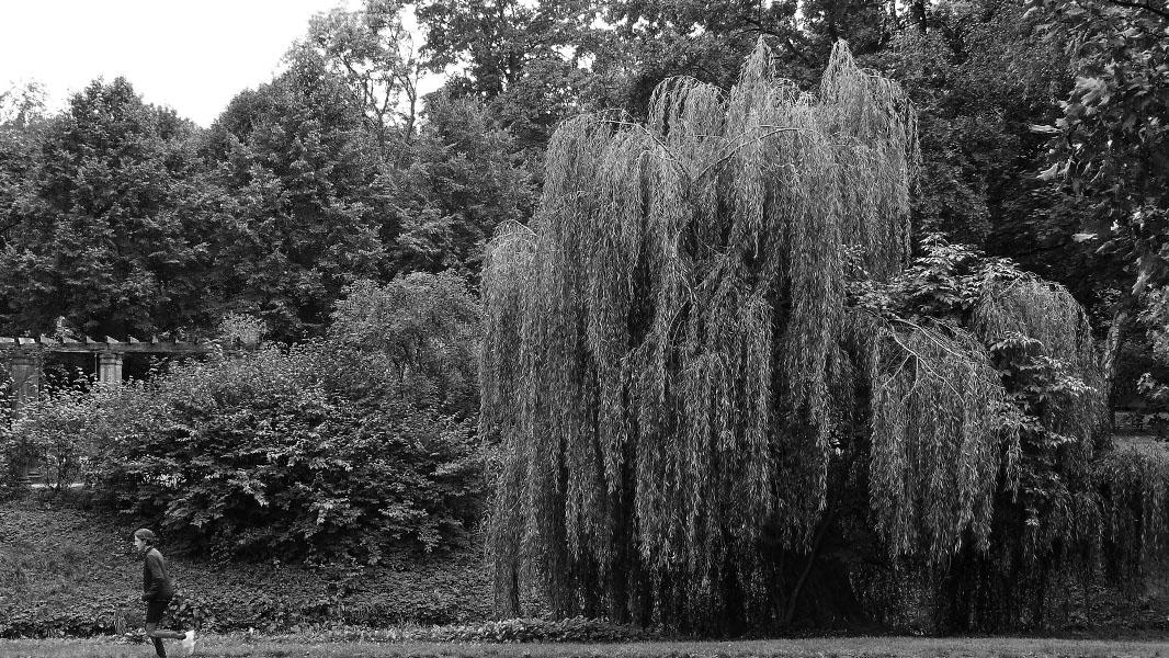Weide im Bürgerpark Pankow - schwarz/weiß