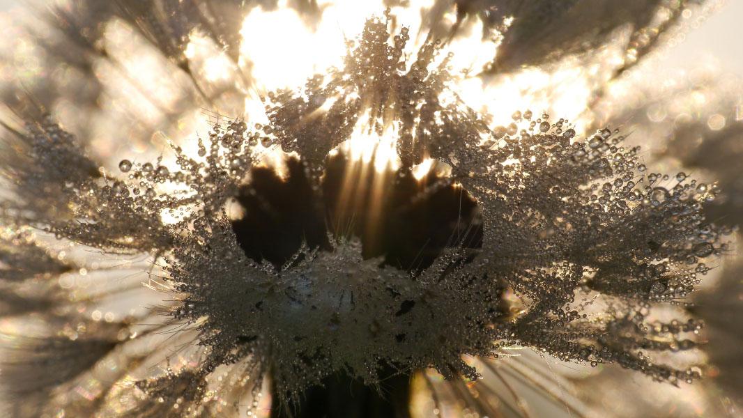 Pusteblume mit Tau durchbrochen von Sonnenstrahlen - Makro