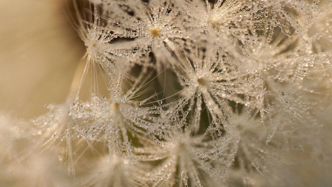 Detail einer Pusteblume mit Morgentau - Makro