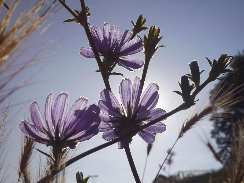 Violette Blumen im Gegenlicht