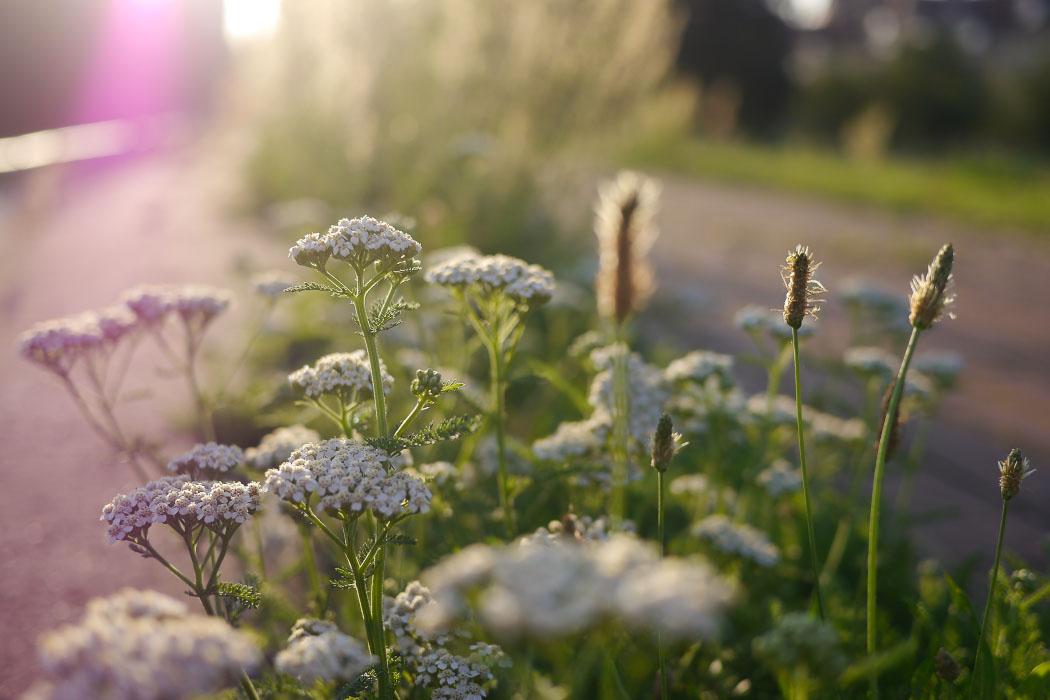 Wildblumen im Gegenlicht