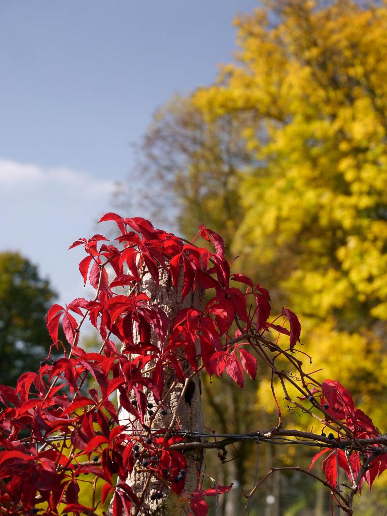 Rote Blätter im Herbsterbst