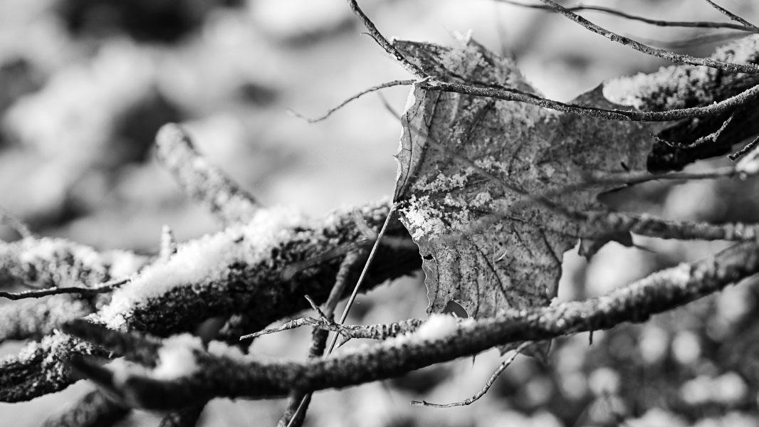 Laublatt mit Frost