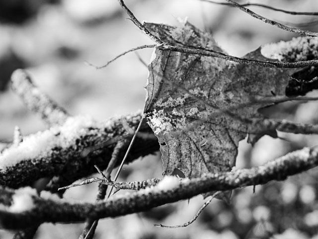 Winterlaub - schwarz-weiß