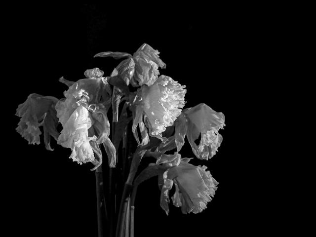 Verblühte Narzissen - schwarz/weiß