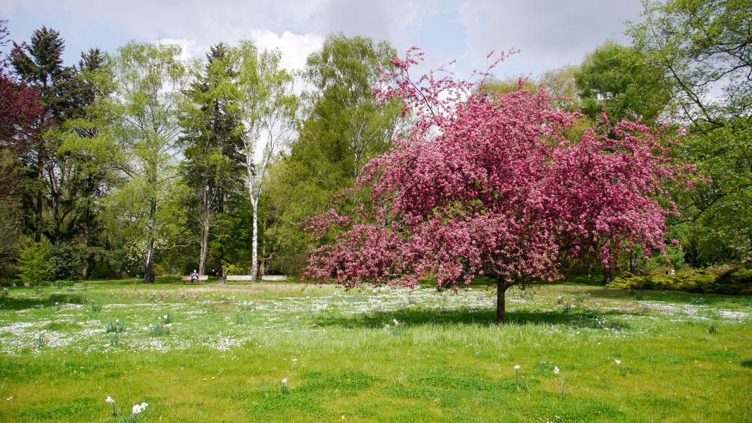 Kirschbaum im Botanischen Garten Pankow