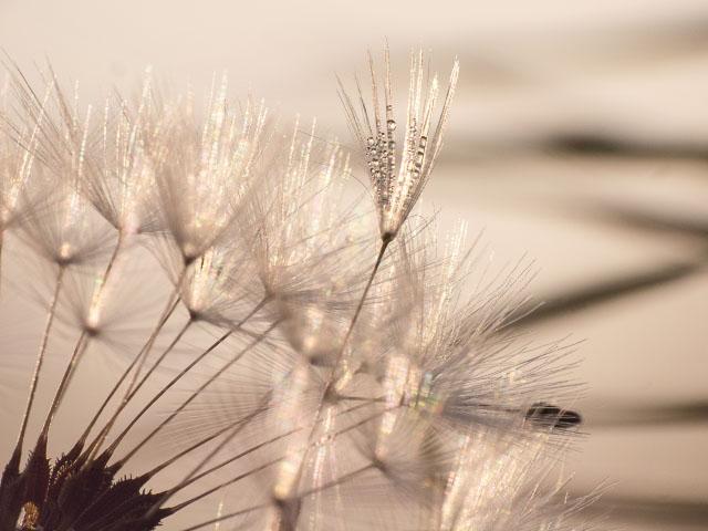 Pusteblume im Gegenlicht mit Morgentau