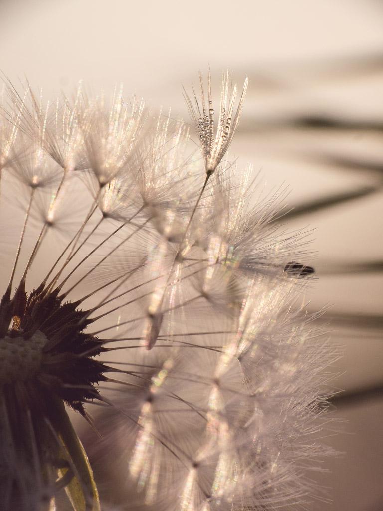 Pusteblume mit Morgentau im Gegenlicht