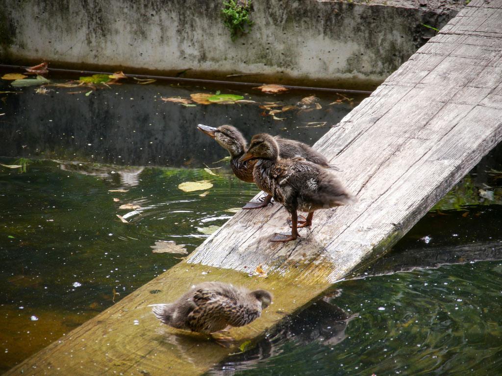 Junge Enten auf Holzsteg