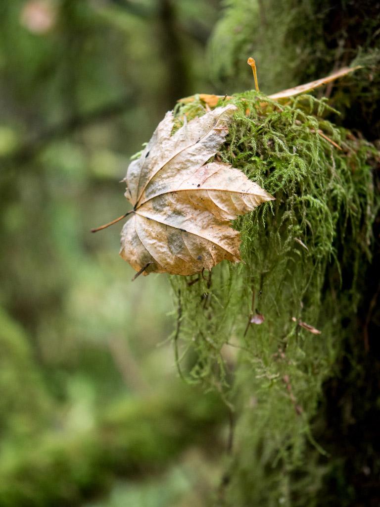 Ahornblatt im Lynn Canyon Park - VAncouver