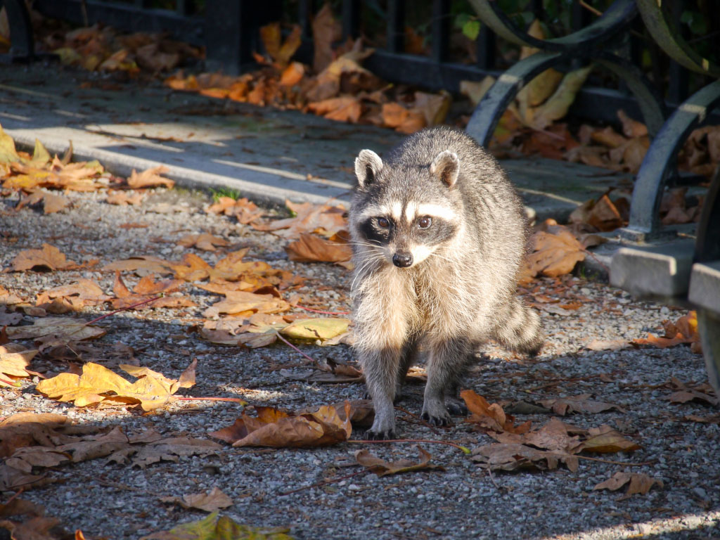 Waschbär am Prospect Point - Stanley Park Vancouver