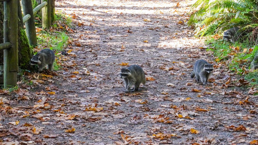 Waschbären im Stanley Park