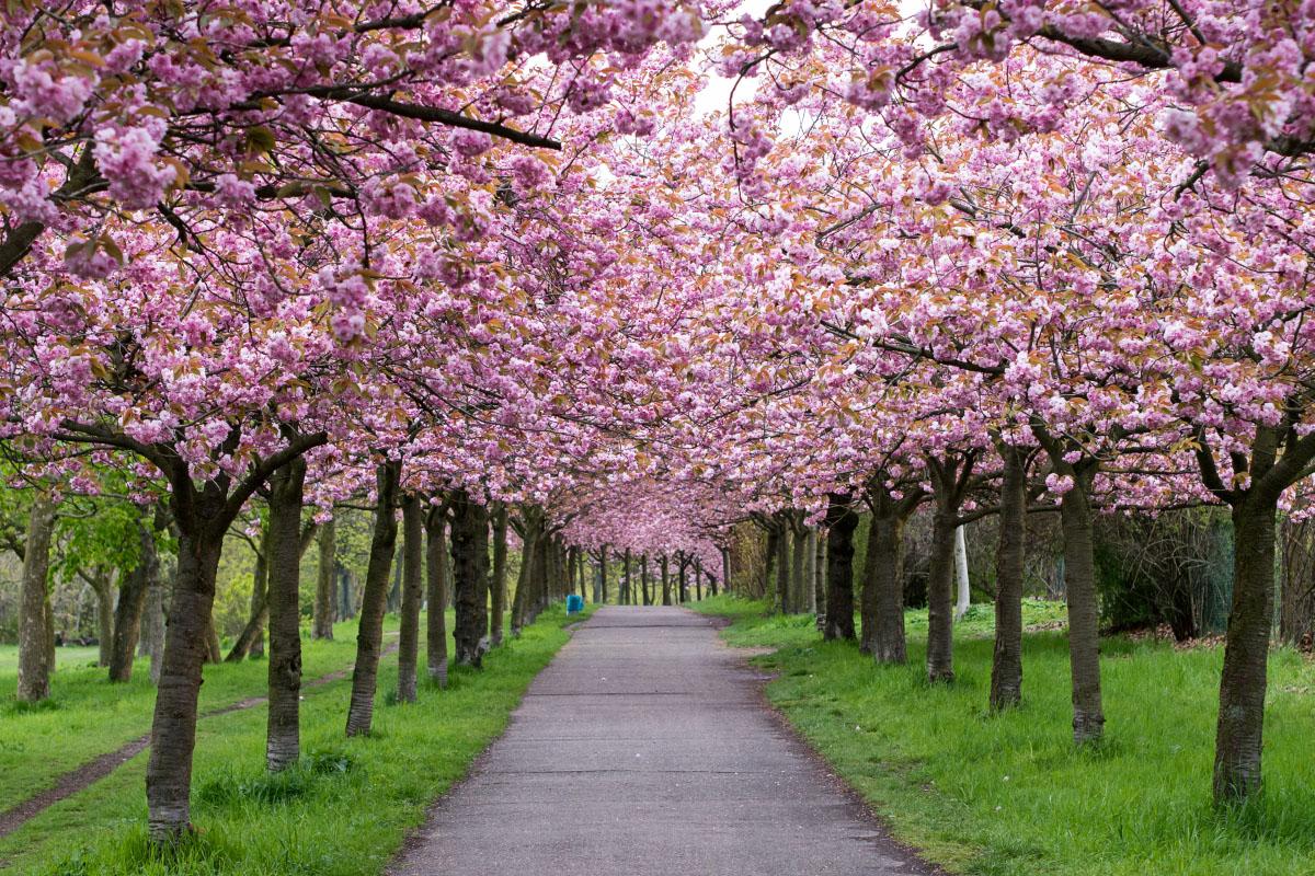 Kirschblüten-Allee am Mauerweg