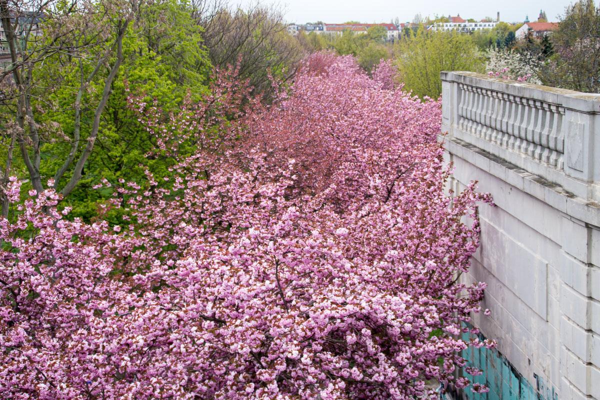 Kirschblüten an der Bornholmer Brücke