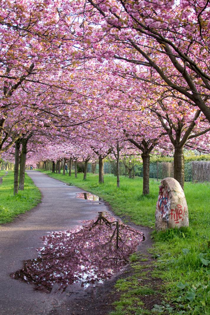 Kirschblüten am Mauerweg