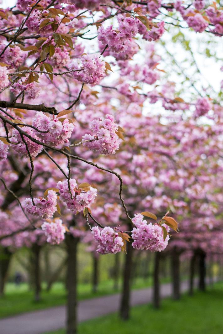 Kirschblüten-Zweige