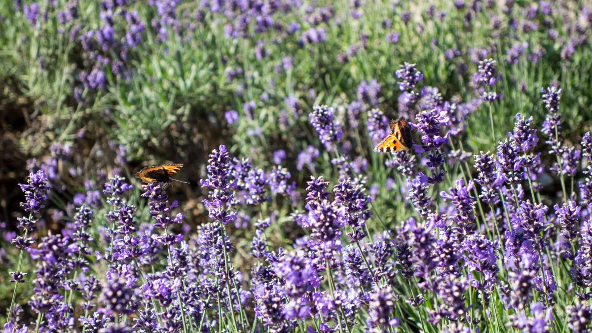 Lavendel mit zwei Pfauenaugen