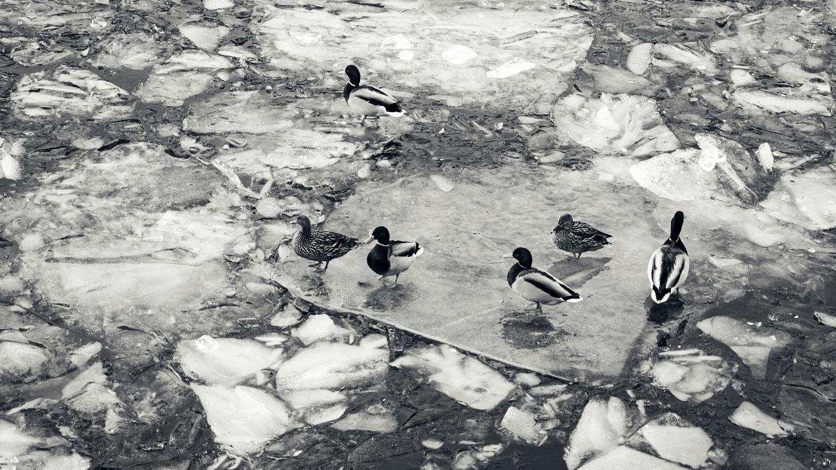 Stockholm - Enten auf Eisschollen
